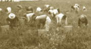 Migrant workers in a tomato field