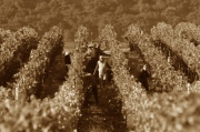 Migrant Workers at a vineyard in California